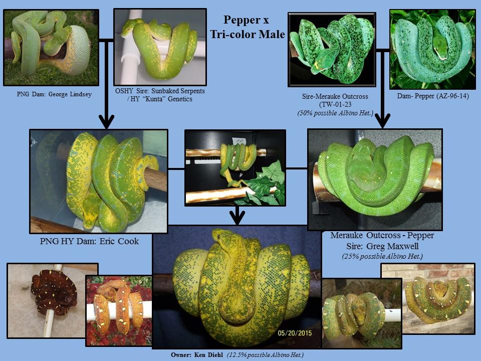 Pepper x HY Pedigree.jpg