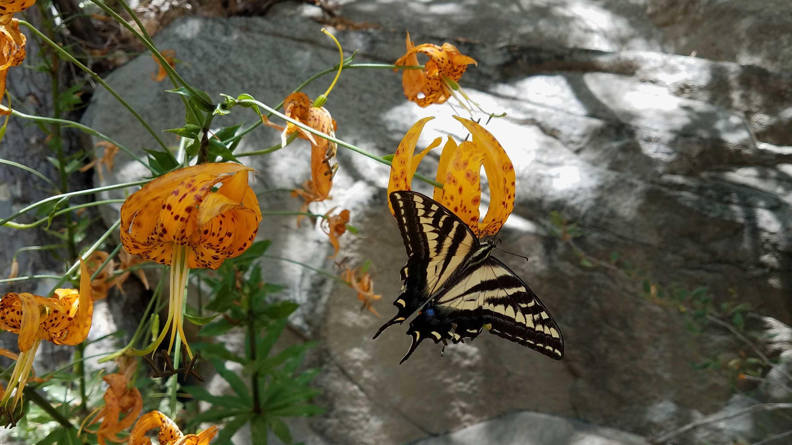 butterflylily.jpg